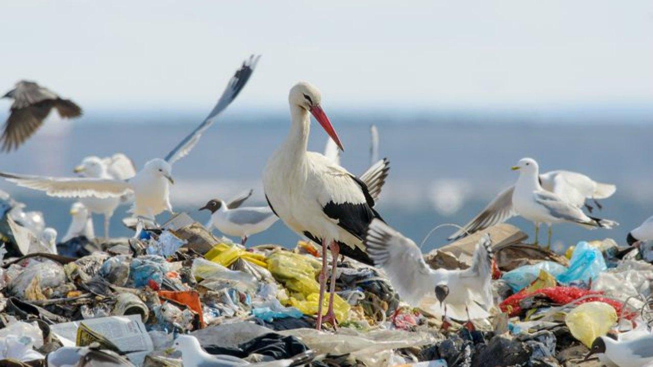 Çöplerden beslenen beyaz leylekler