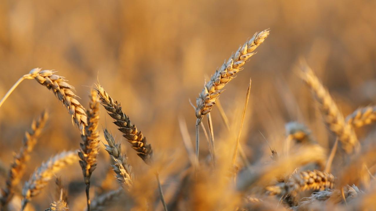 Buğday intoleransının biyolojik açıklaması bulundu