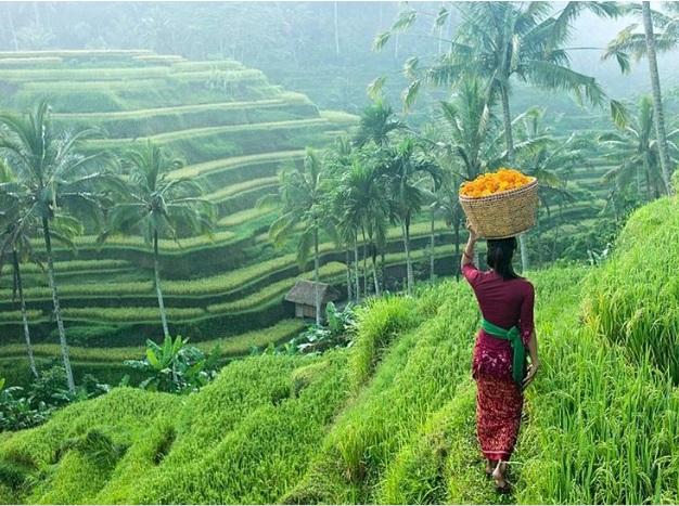 Bali pirinç tarlası