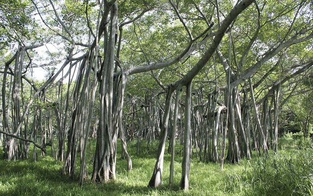 Banyan Ağacı