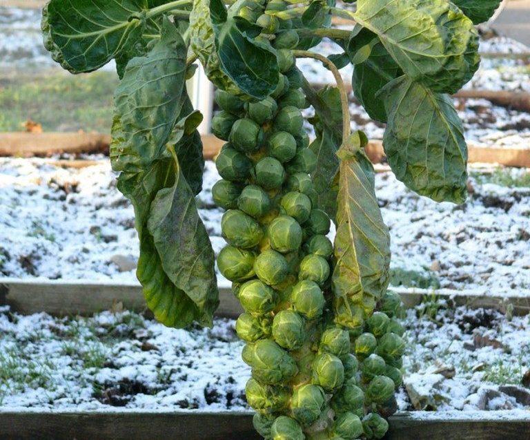 Brüksel lahanası