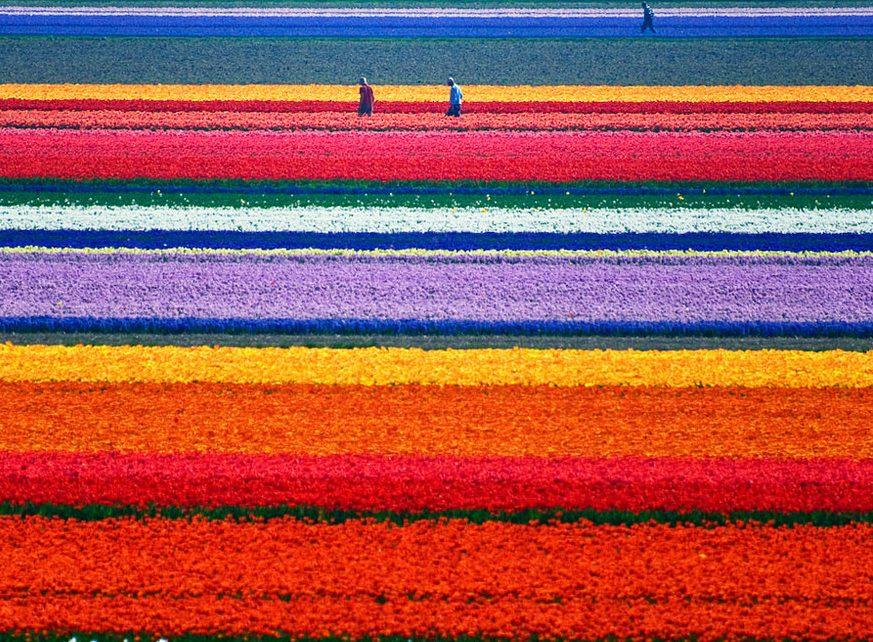 Lale Tarlaları, Hollanda
