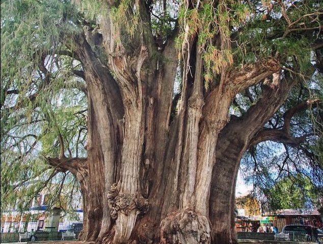 Tule Ağacı