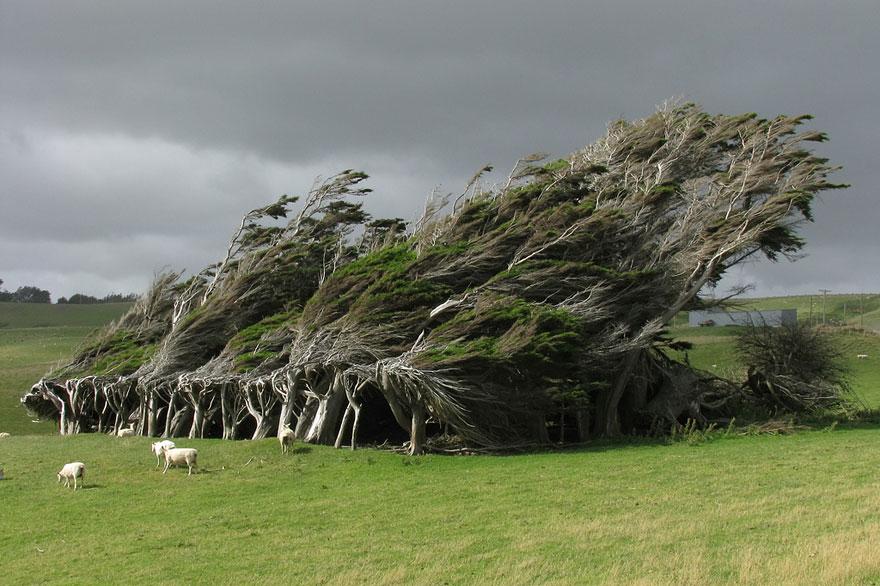 Windswept Ağaçları