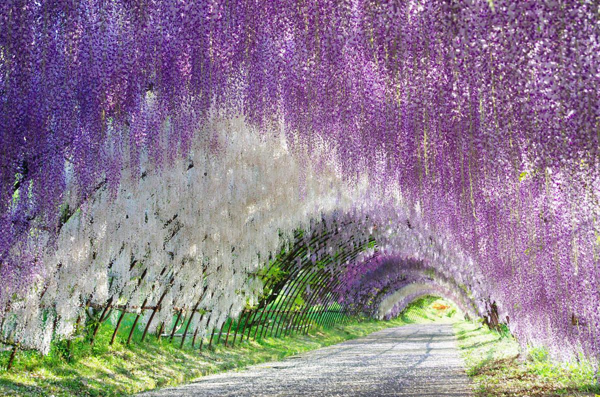 wisteria tüneli