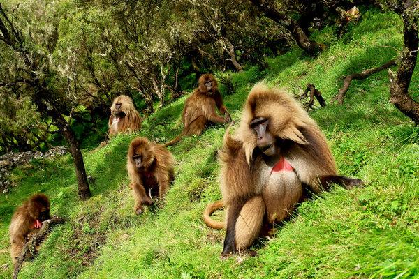 A herd of Gelada monkeys grazing in Ethiopian Siemen National Park