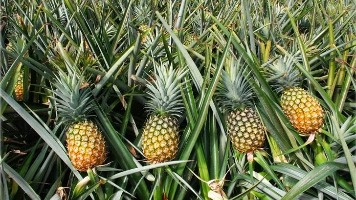 ananas nasil yetisir