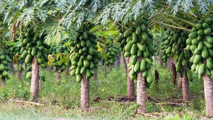 papaya agaci papaya nasil yetisir