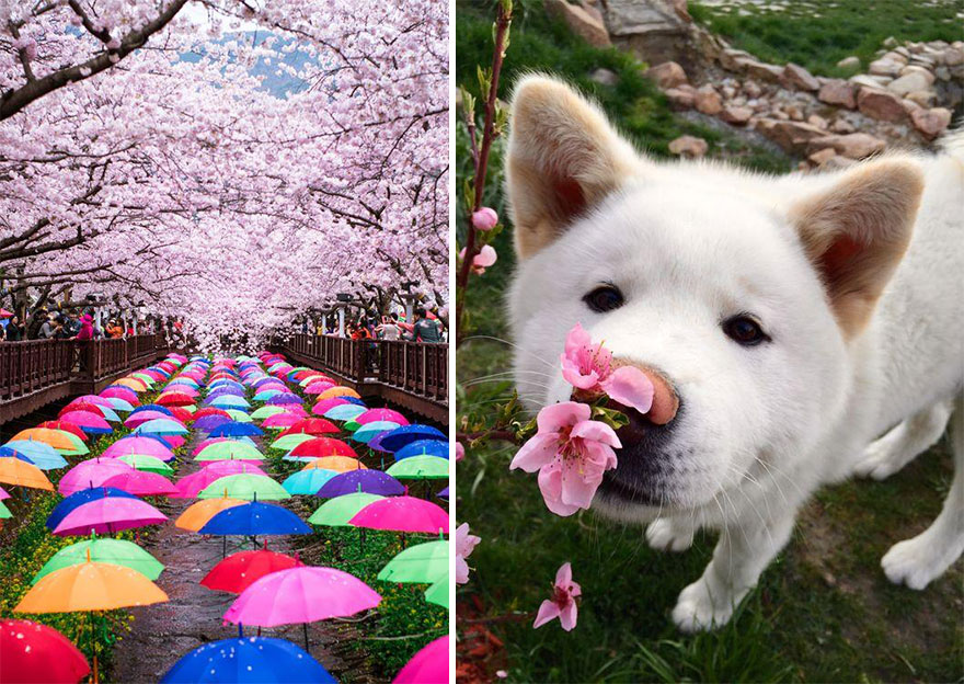 spring japan cherry blossoms national geographics