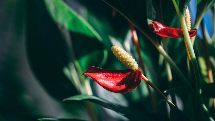 Antoryum (Anthurium)