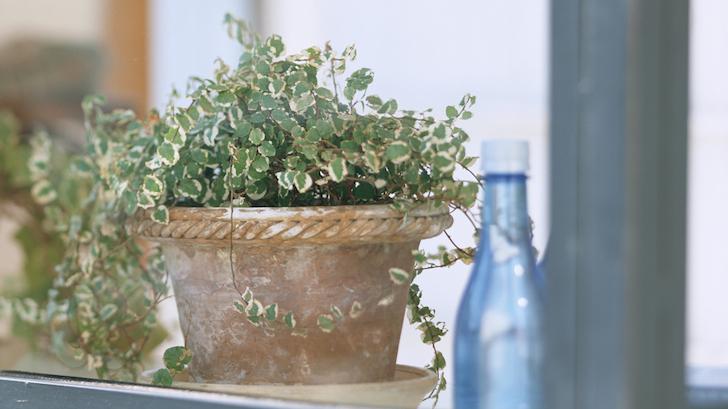 Duvar Sarmaşığı (Ficus pumila)