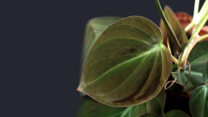 Kalp Yapraklı Salon Sarmaşığı (Philodendron scandens)