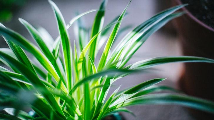 Kurdele Çiçeği (Chlorophytum comosum)