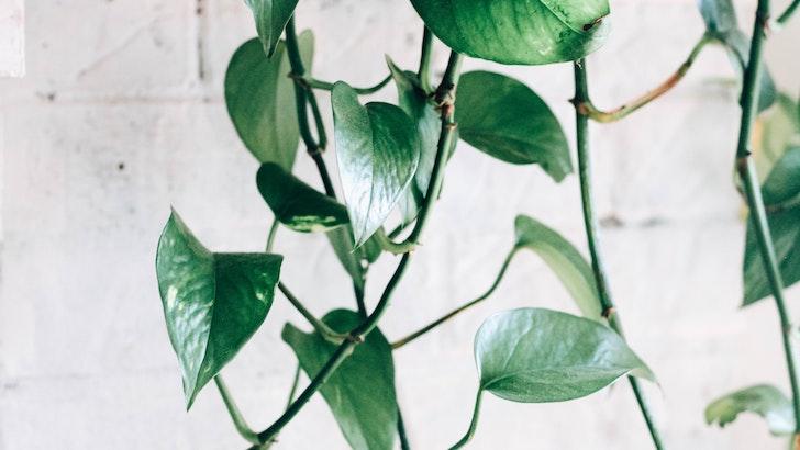 Salon Sarmaşığı (Epipremnum aureum)