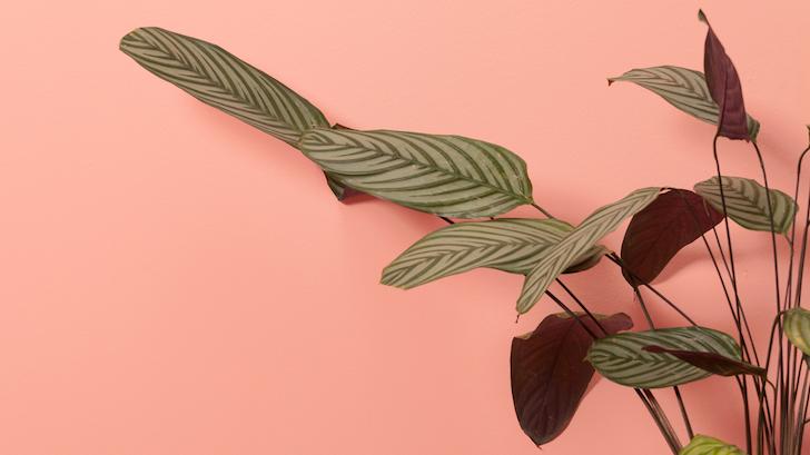 Salon Yaprağı (Aspidistra elatior)