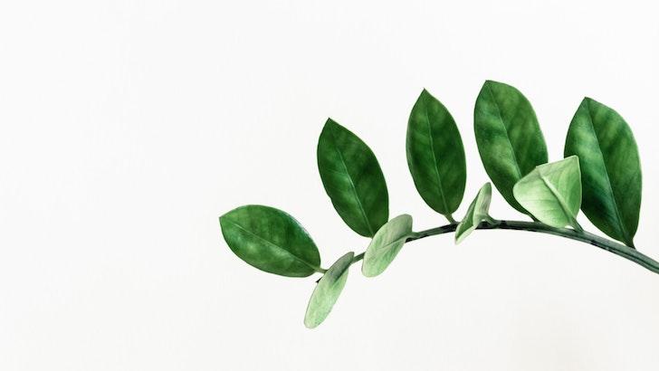Zeze Çiçeği (Zamioculcas zamiifolia)