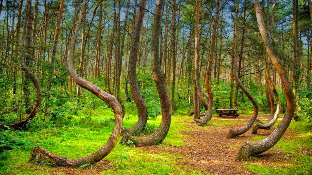 Eğri orman, Polonya