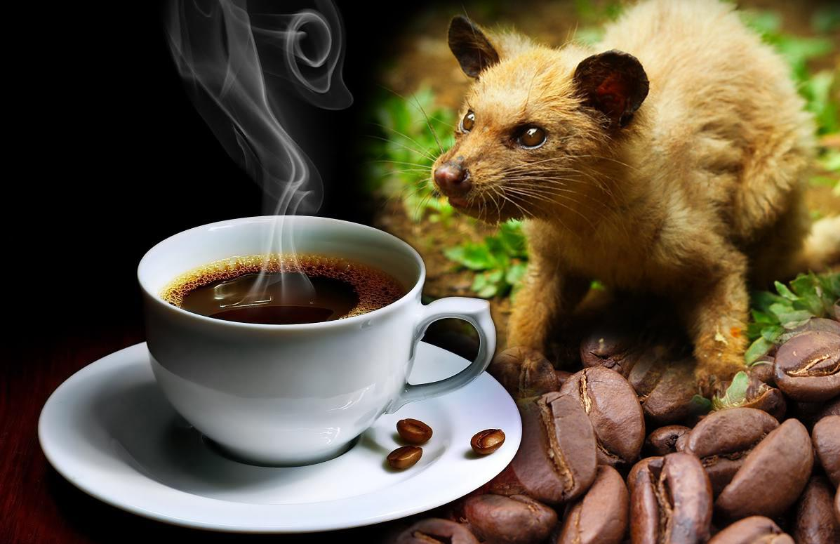 Kopi luwak kahvesi