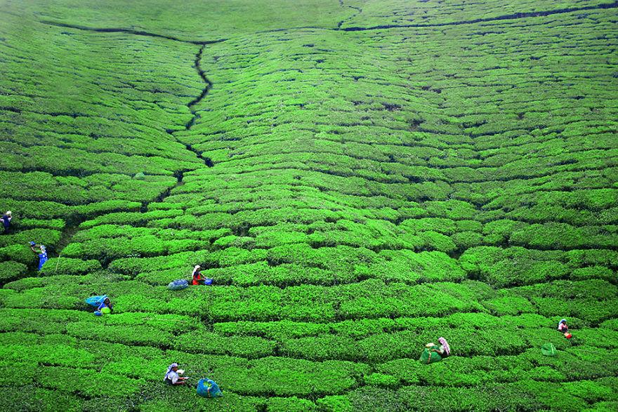 Nuwara Eliya yakınlarındaki bir çay tarlasında çalışan kadınlar, Sri Lanka
