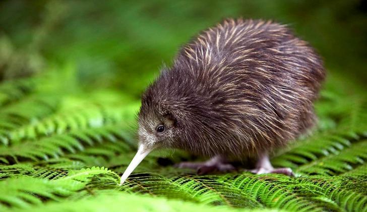 hayvanlar hakkinda ilginc bilgiler kivi kusu