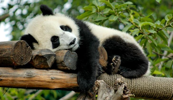 hayvanlar hakkinda ilginc bilgiler panda