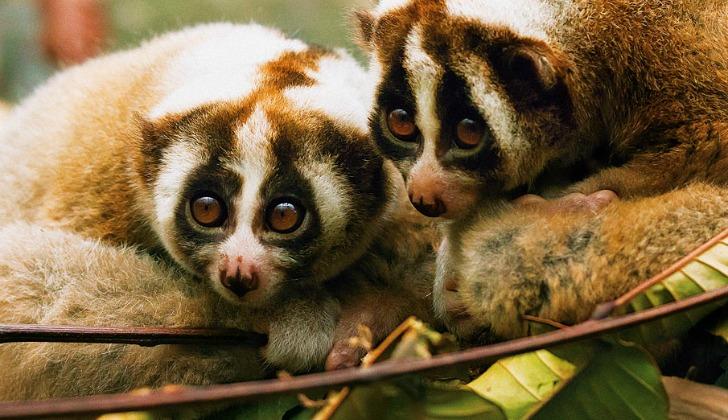 hayvanlar hakkinda ilginc bilgiler yavas loris
