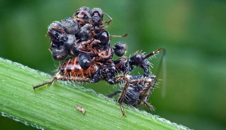hayvanlarla ilgili ilginc bilgiler acanthaspis