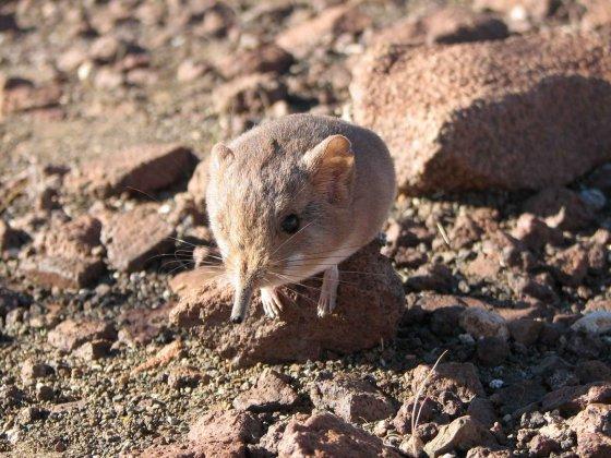 elephant-shrew-macroscelides-micus