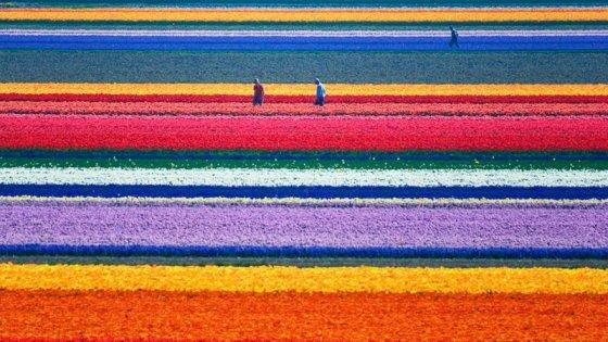 kuzey-hollanda-lale-tarla
