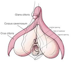 clitoris  Klitorisle ilgili ilginç bilgiler ve cinsel sağlık clitoris