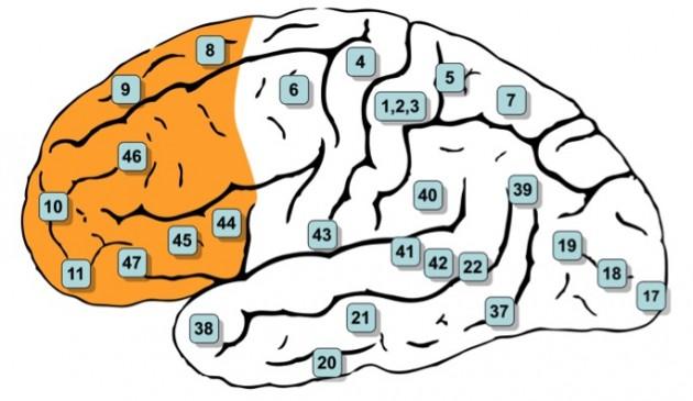 Sarıyla işaretli #8, #9, #10, #11, #44, #45, #46, ve #47. alanlar prefrontal bölgeyi oluşturur