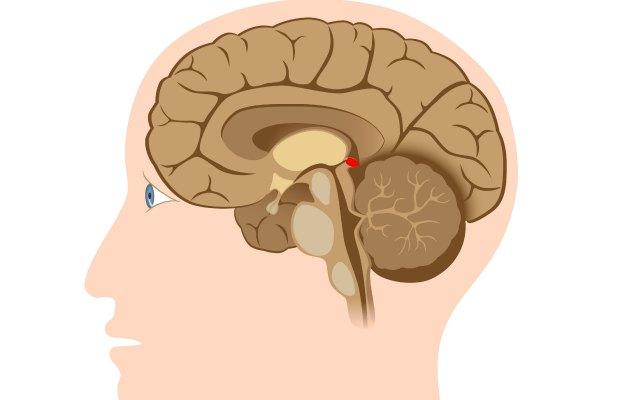 beyin epifizi