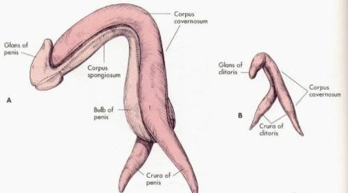 clitoris penis