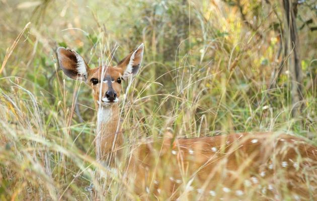 Botswana'nın vahşi yaşamında bir antilop